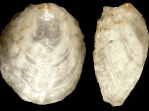Malluvium lissum