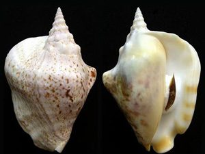 Tricornis thersites