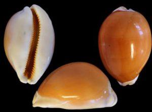Lyncina aurantium