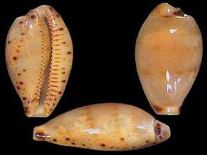 Palmulacypraea katsuae