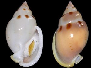 Semicassis glabrata